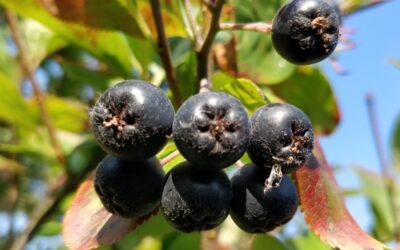 Cierpkie owoce na układ krwionośny