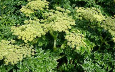 Arcyciekawe ziele nie tylko na problemy żołądkowe i bielactwo