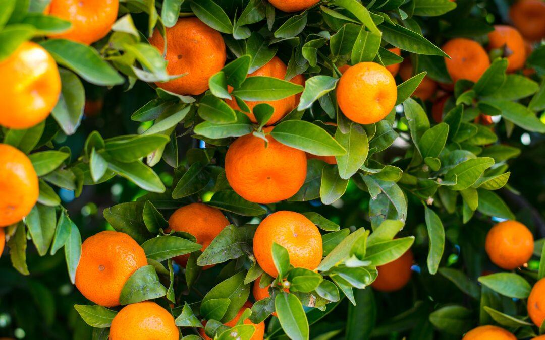 Pomarańcze, mandarynki, klementynki